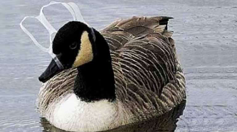 ONE IN 10 CANADIAN FRESHWATER BIRDS ARE POLLUTED WITH PLASTIC